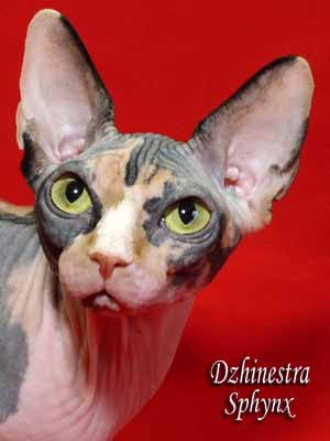 Cat - Balantain Alesia - The Canadian Sphynx