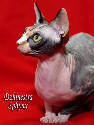 Cat - Balantain Alesia - Canadian Sphynx