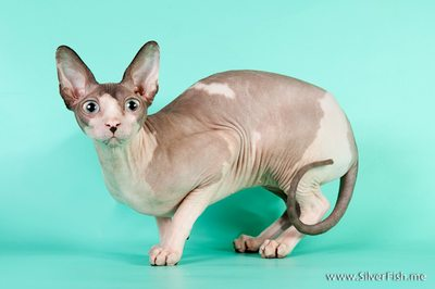 Cat (female) - Dzhinestra Blueberry - Canadian Sphynx