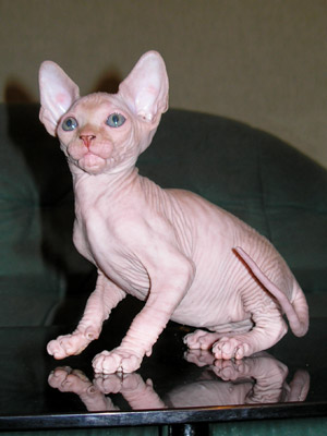 Kittens - the Canadian Sphynxes