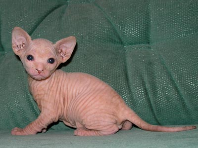 Kittens of the Canadian Sphynxes
