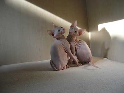 Our kittens - Canadian Sphynx