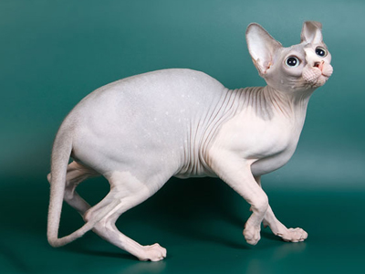 Cat female - Littlesphynkers Magnolya - Canadian Sphynx